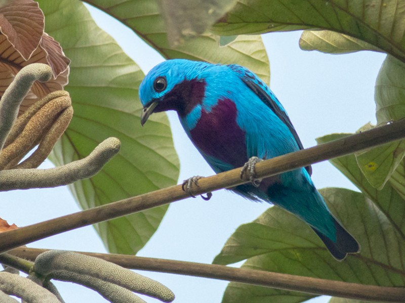 Turquoise Cotinga - Tom Johnson