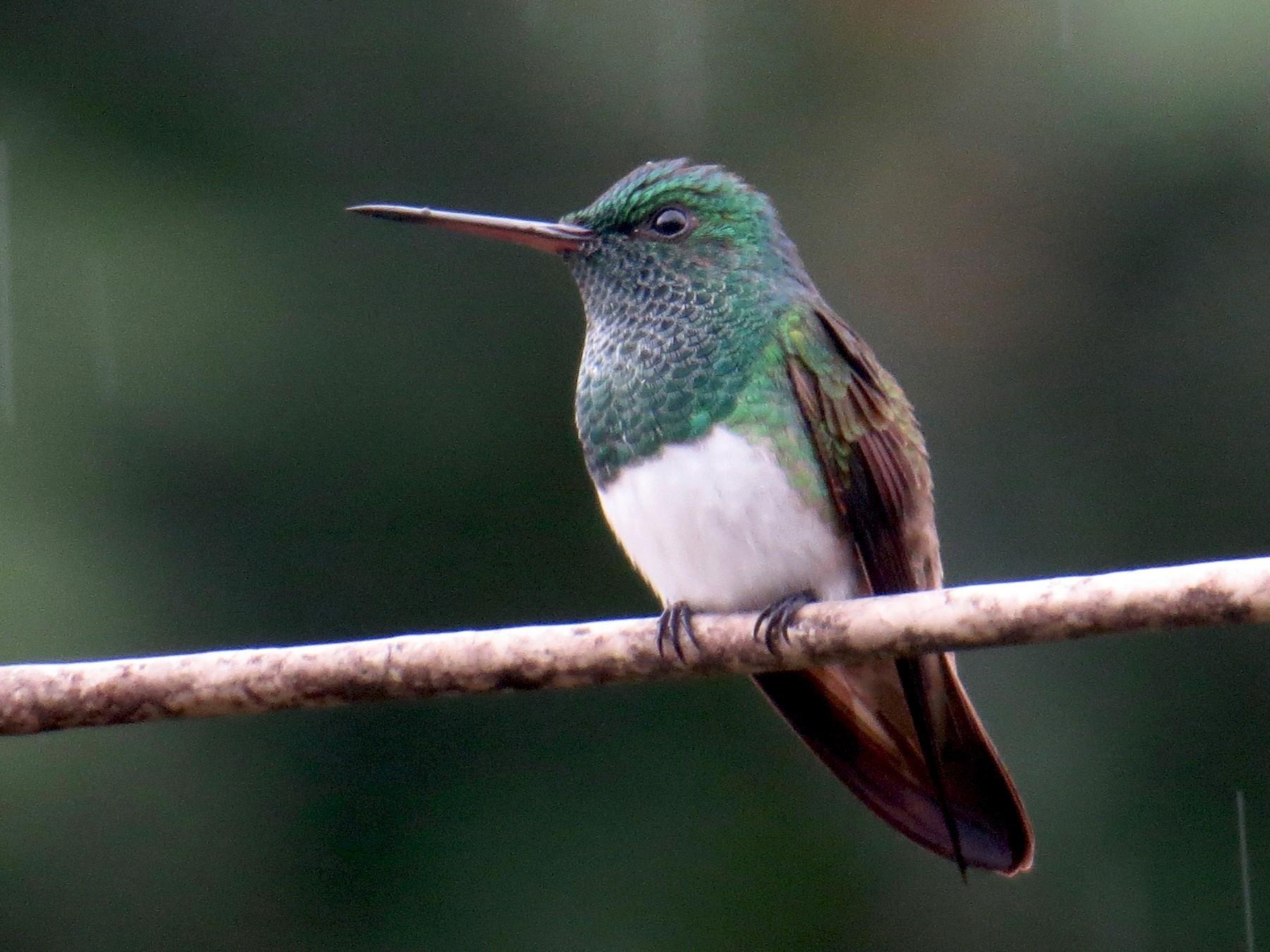 Snowy-bellied Hummingbird - Gerry Hawkins