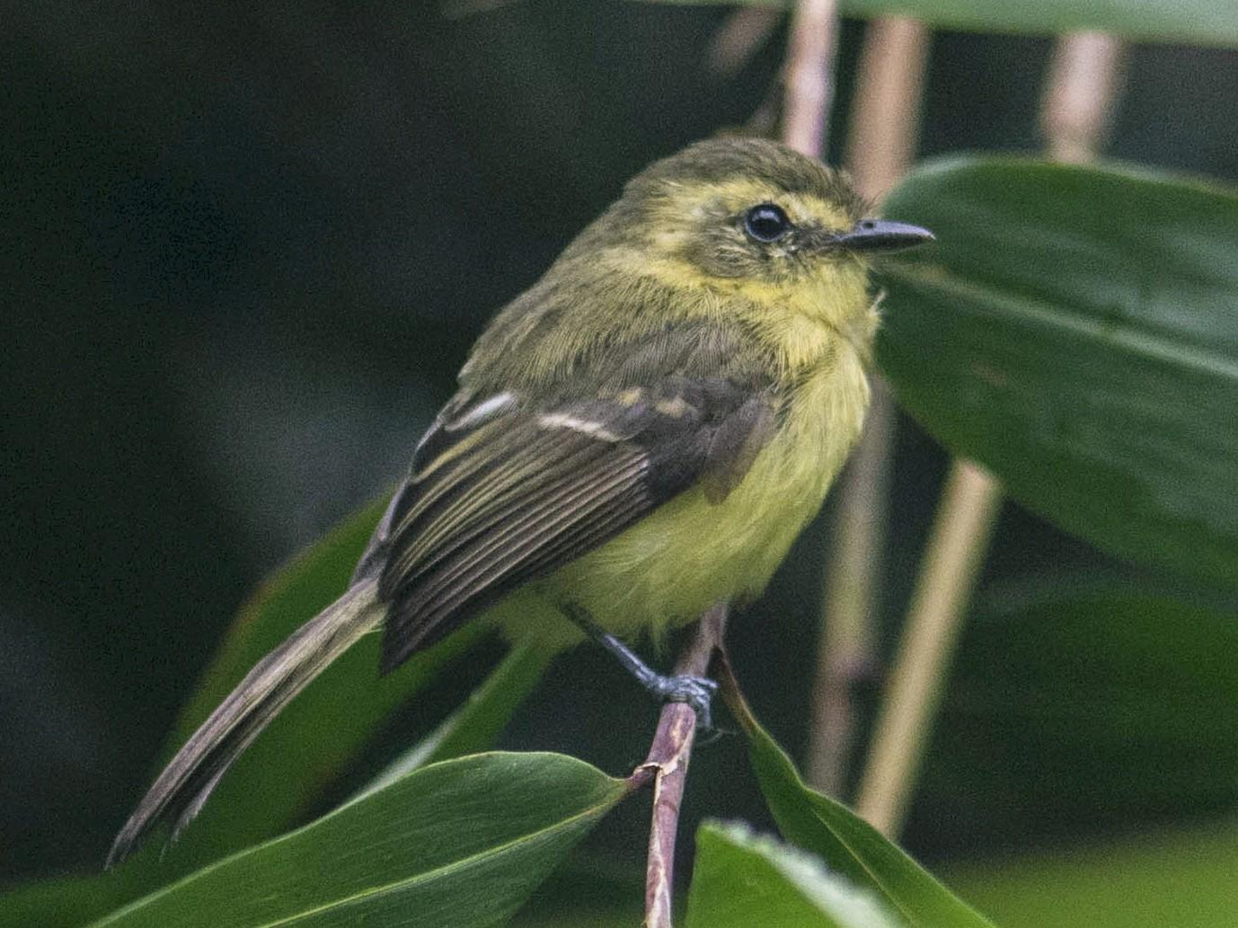 Yellow Tyrannulet - Hudson - BirdsRio