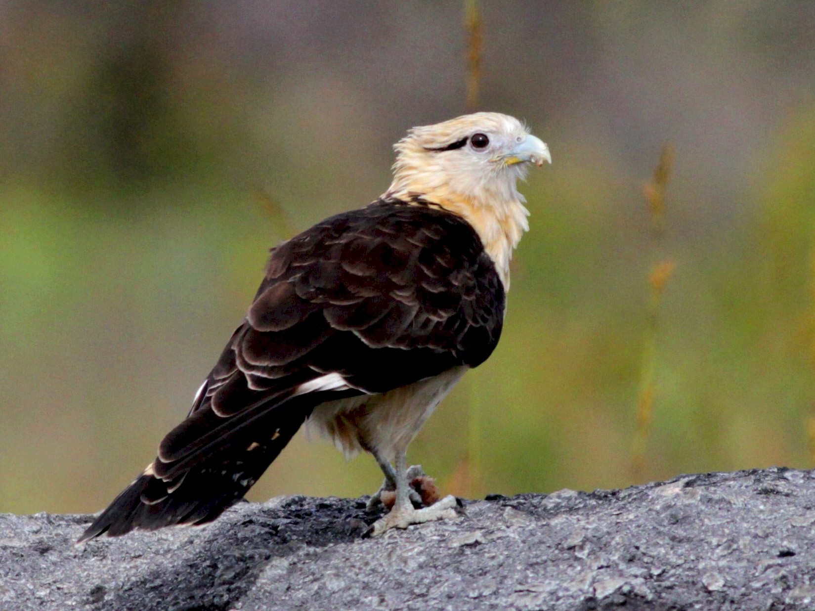 Yellow-headed Caracara - Jay McGowan