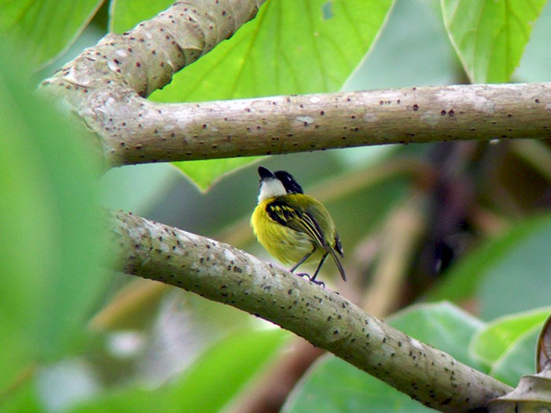 Black-headed Tody-Flycatcher - Euclides