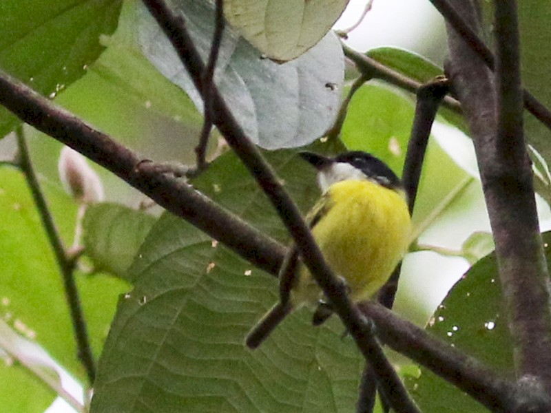 Black-headed Tody-Flycatcher - Jay McGowan