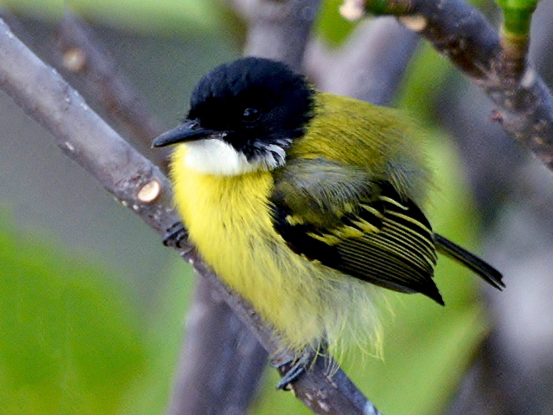 Black-headed Tody-Flycatcher - Alfred Raab