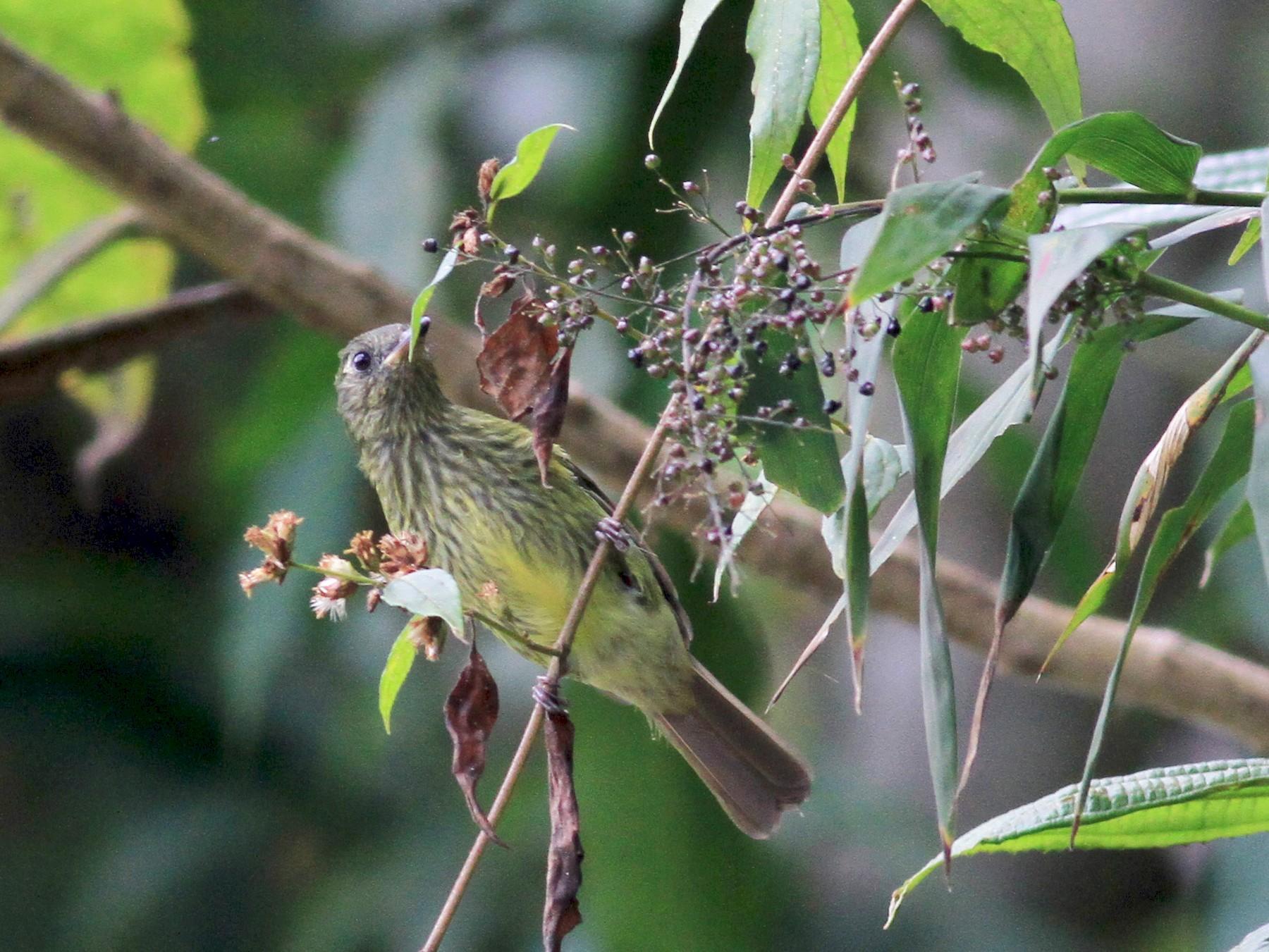 Olive-striped Flycatcher - Jay McGowan