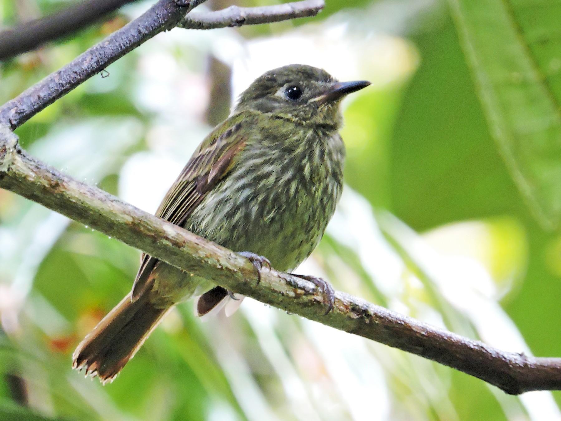 Olive-striped Flycatcher - Edwin Munera