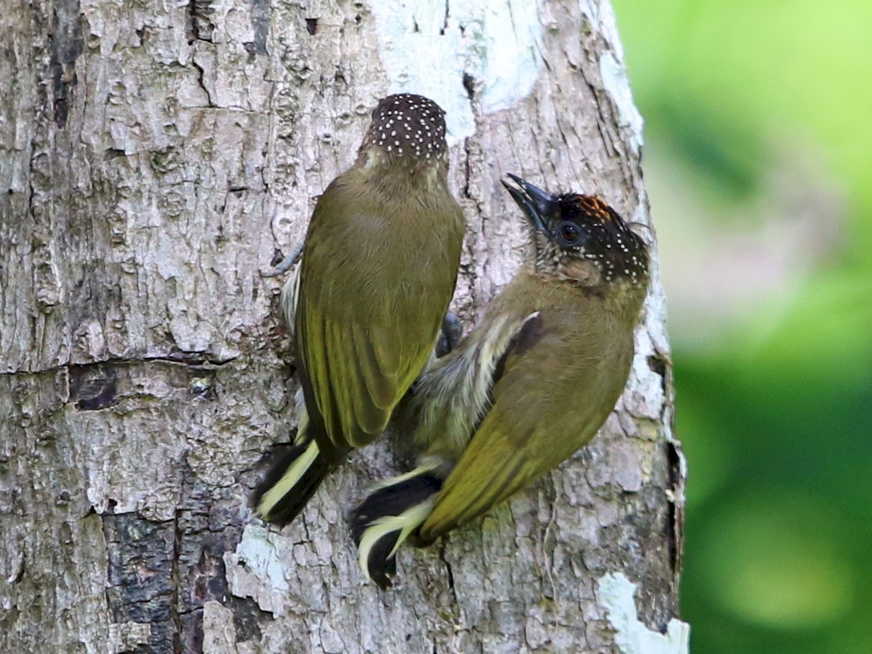Olivaceous Piculet - Jeff Tingle