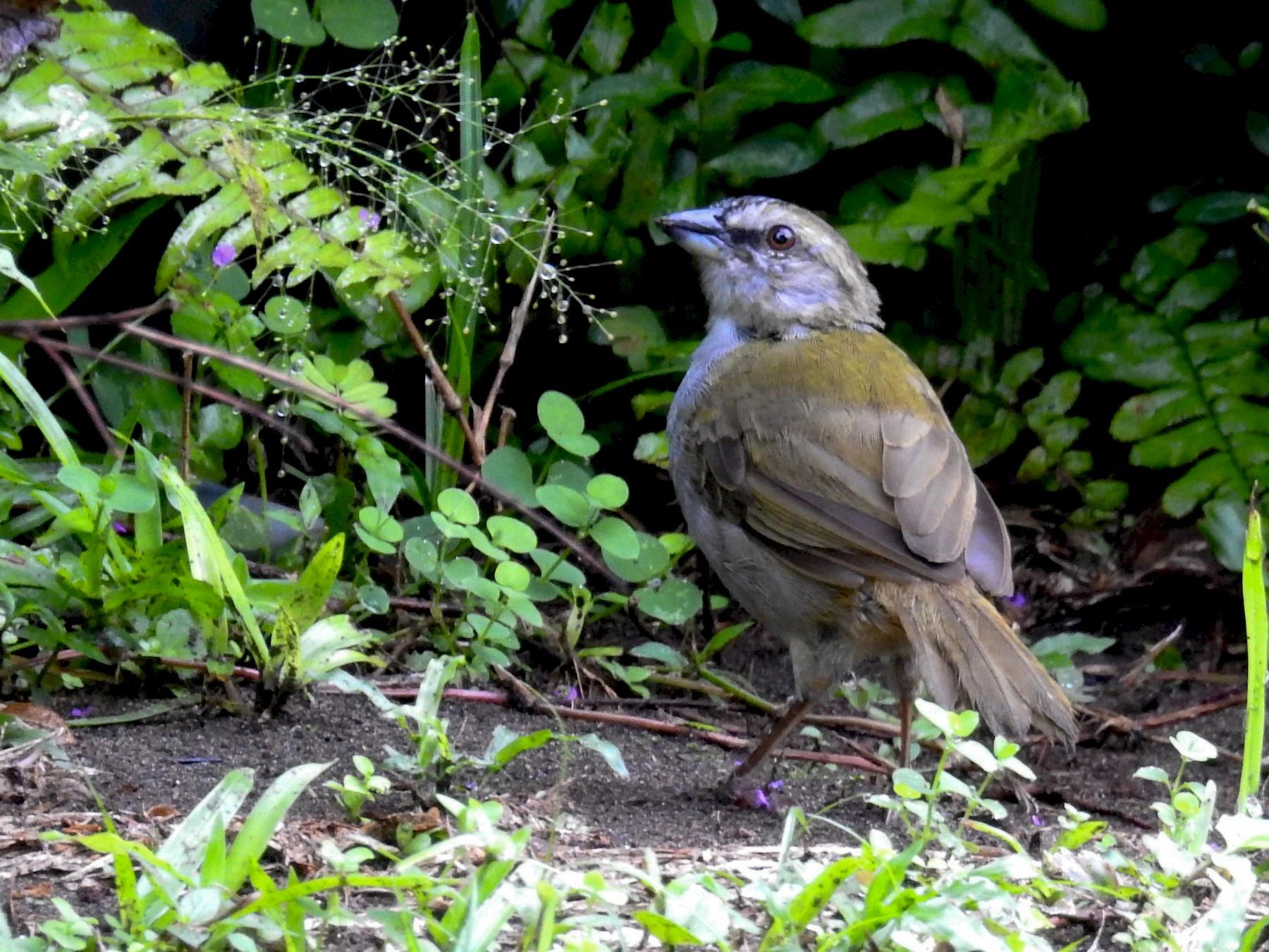 Black-striped Sparrow - David Bree