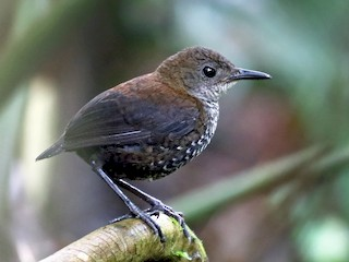 - Scaly-breasted Wren (Scaly)