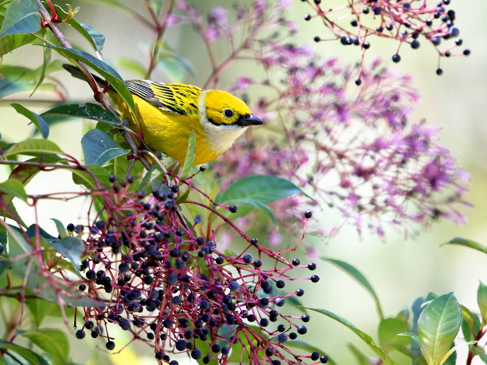 Silver-throated Tanager - Tom Murray