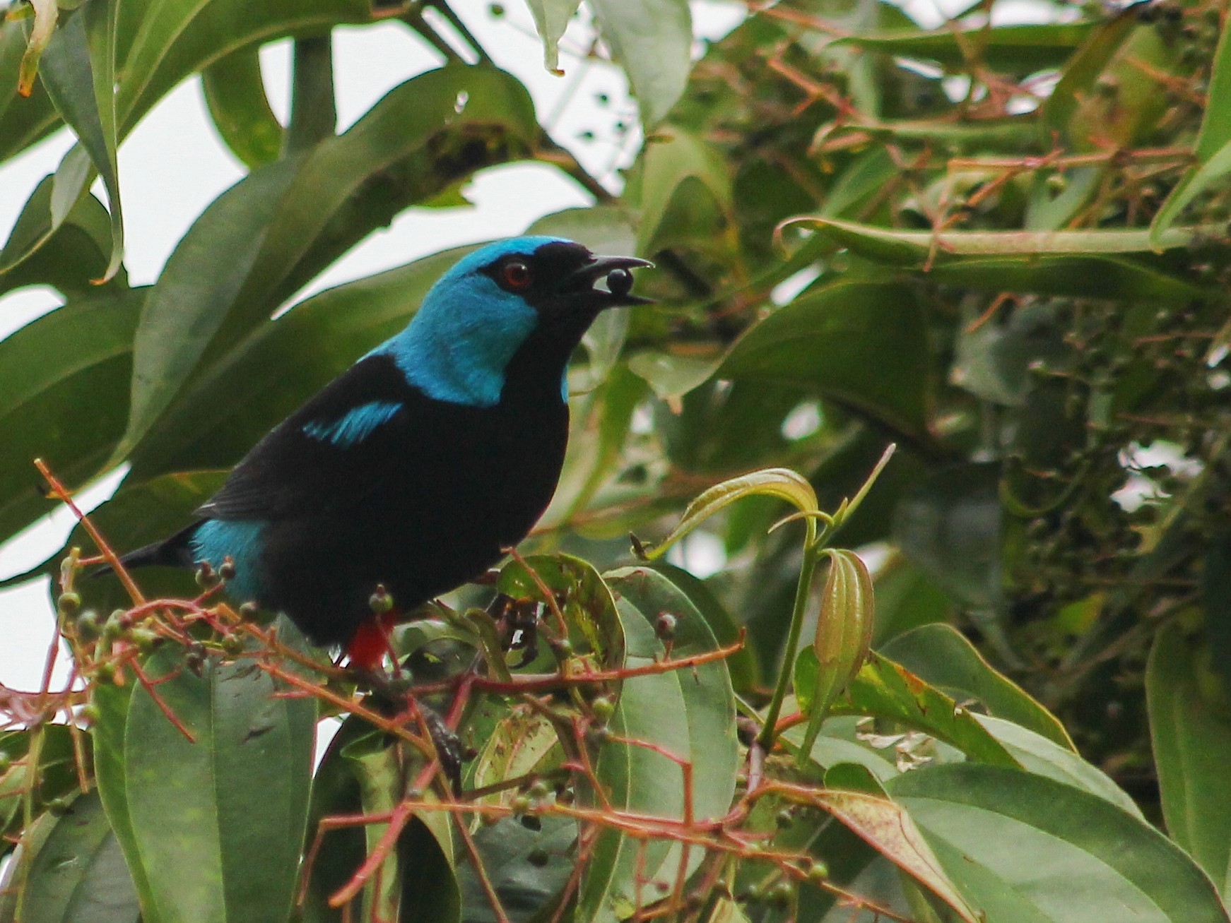 Scarlet-thighed Dacnis - Devin Griffiths