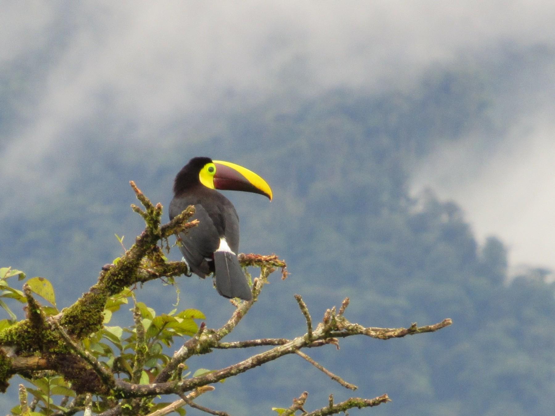 Yellow-throated Toucan - Jim Zook