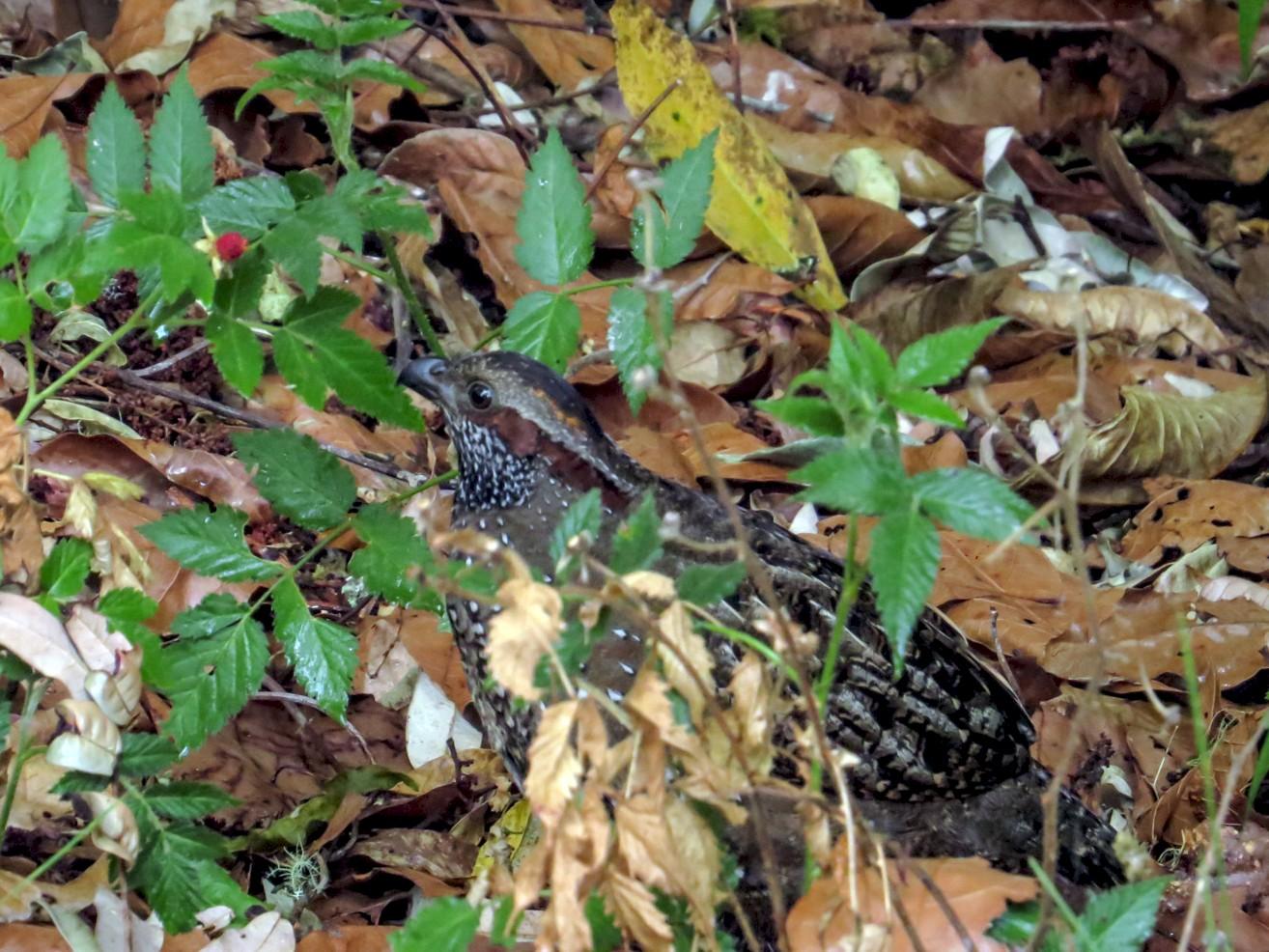 Spotted Wood-Quail - Warren Bielenberg