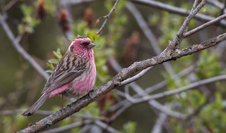 - Chinese White-browed Rosefinch