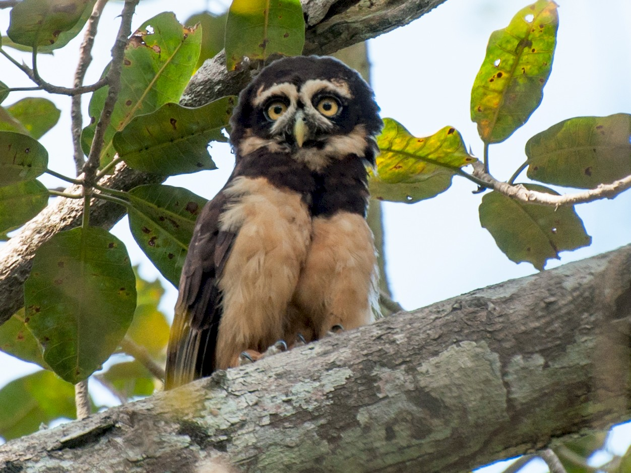 Spectacled Owl - Nic Allen