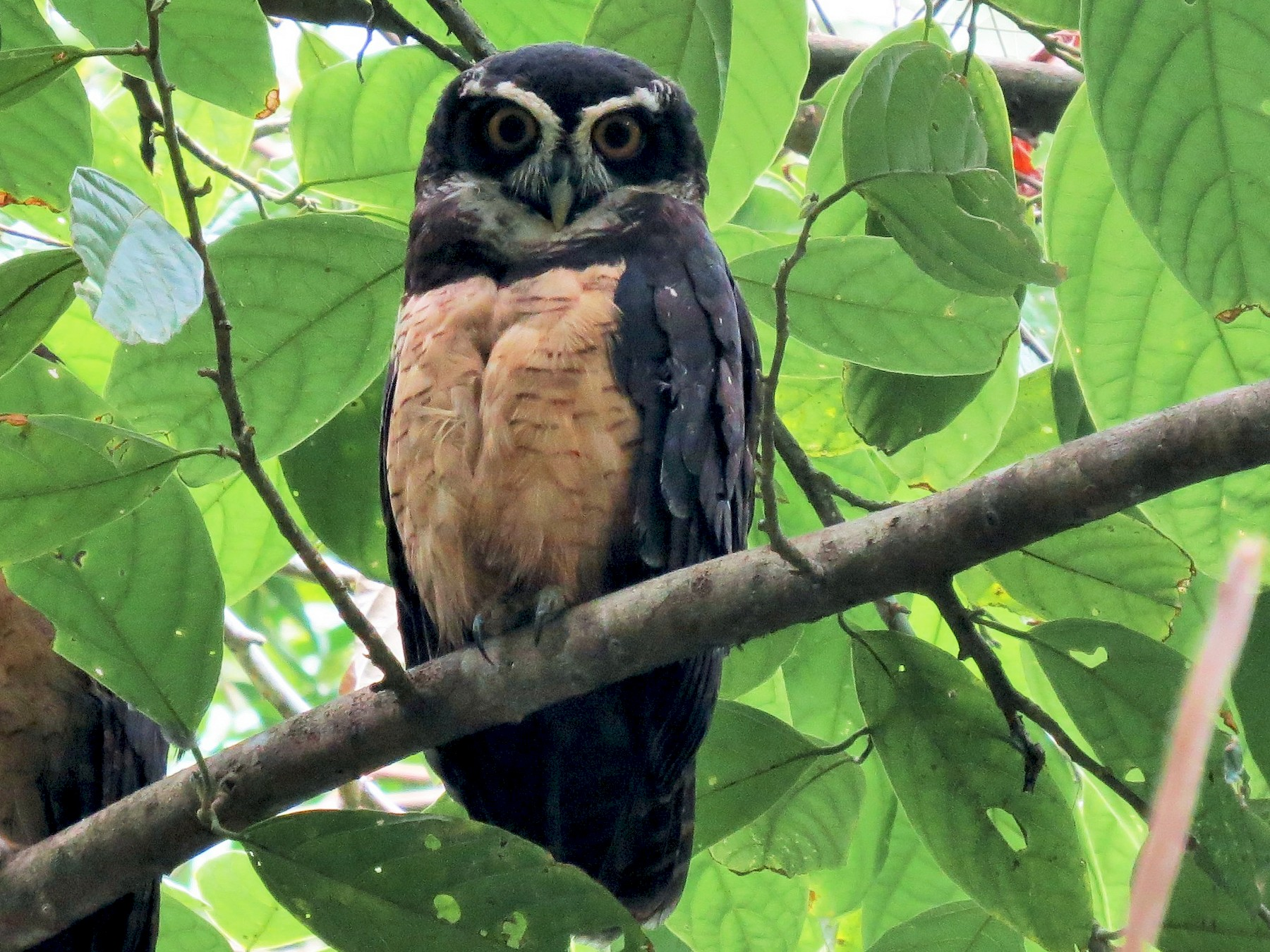Spectacled Owl - Oliver  Komar