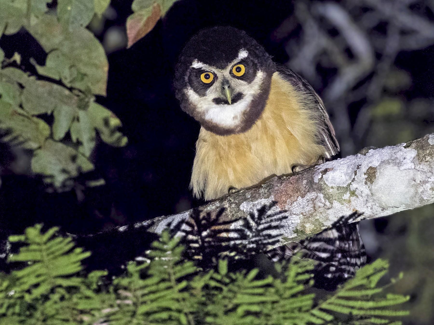 Spectacled Owl - Ciro Albano