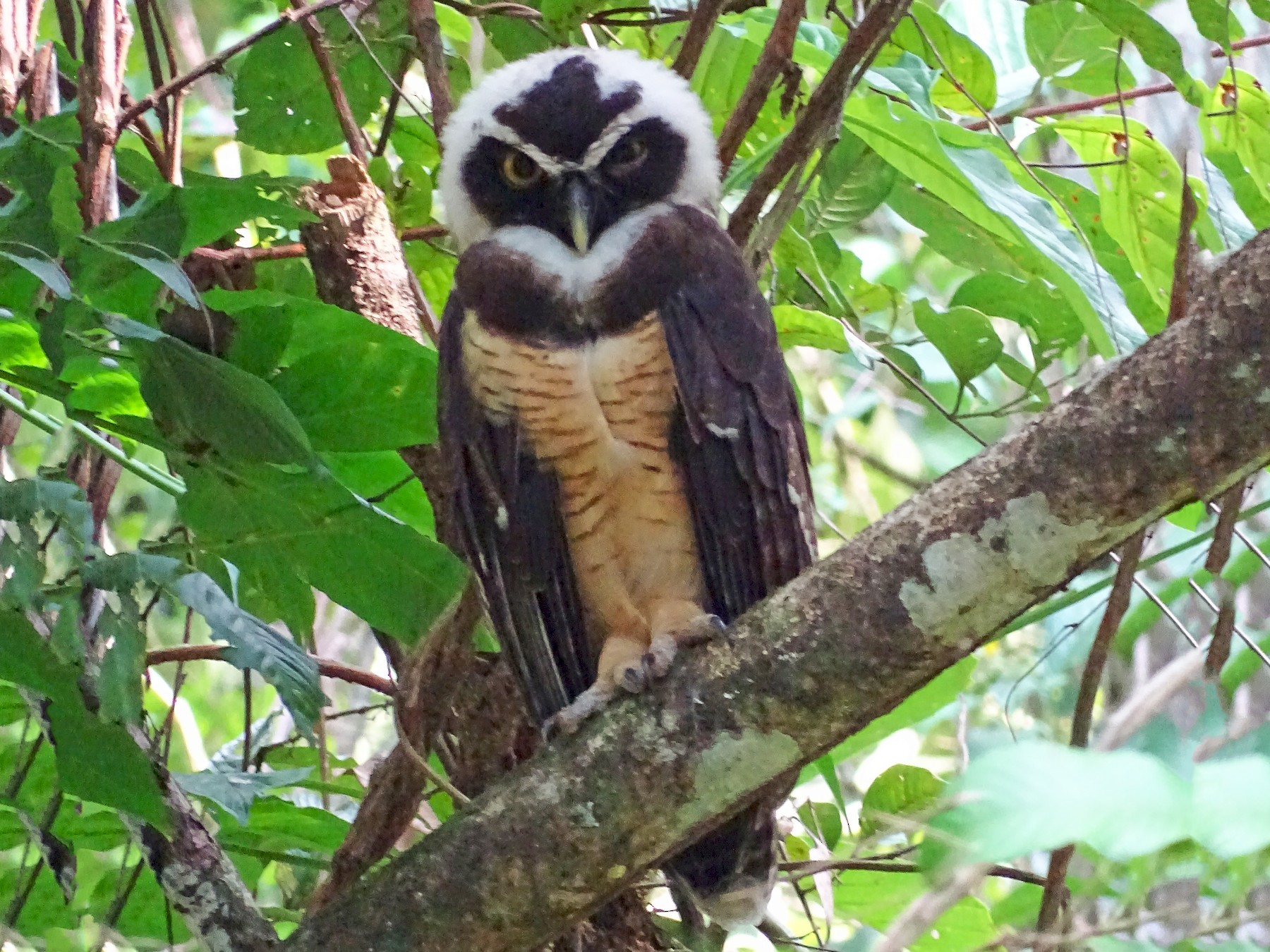 Spectacled Owl - Alfonso Auerbach