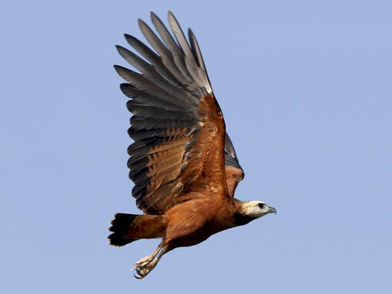 Black-collared Hawk - Ted Keyel