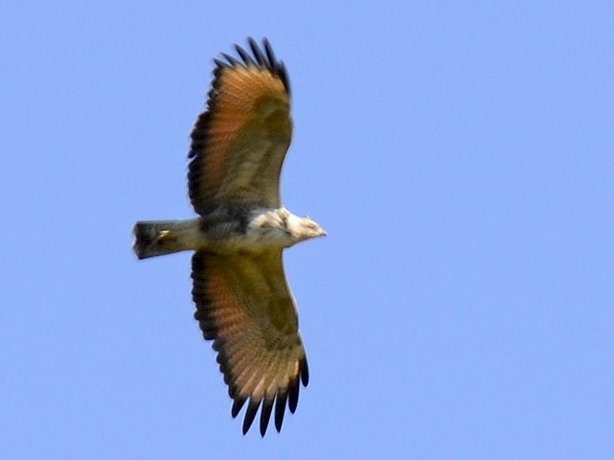 Black-collared Hawk - Roberto Marsilli
