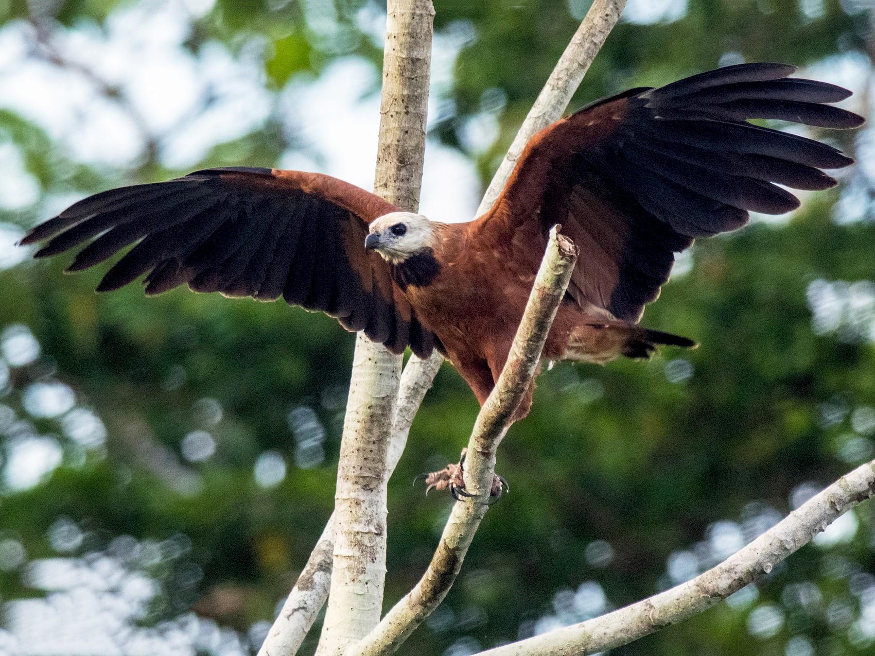 Black-collared Hawk - Phil Kahler