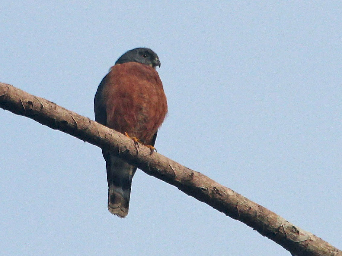 Double-toothed Kite - Alexander Lees