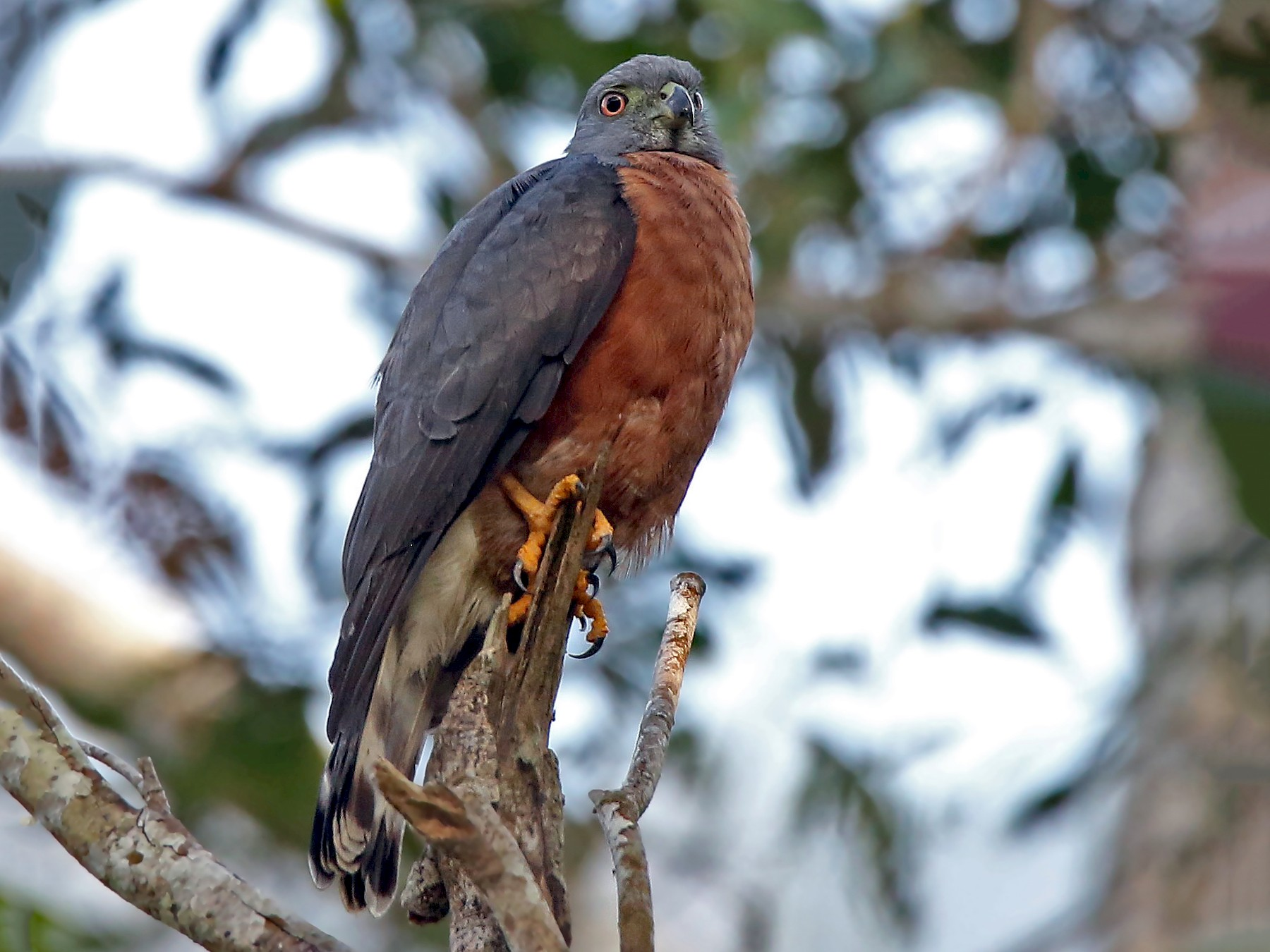 Double-toothed Kite - Roger Ahlman