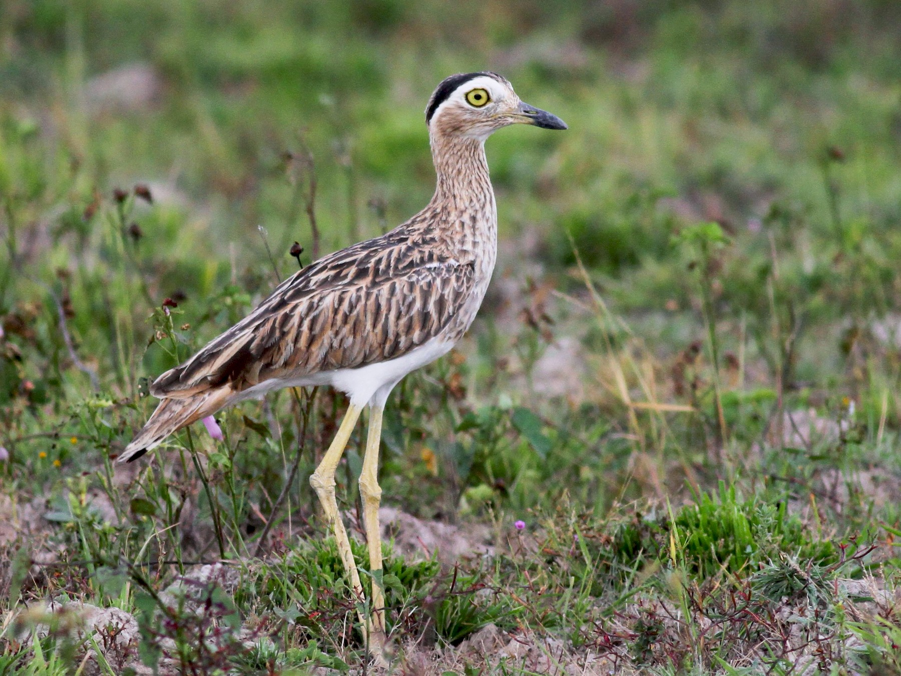 Double-striped Thick-knee - Jay McGowan