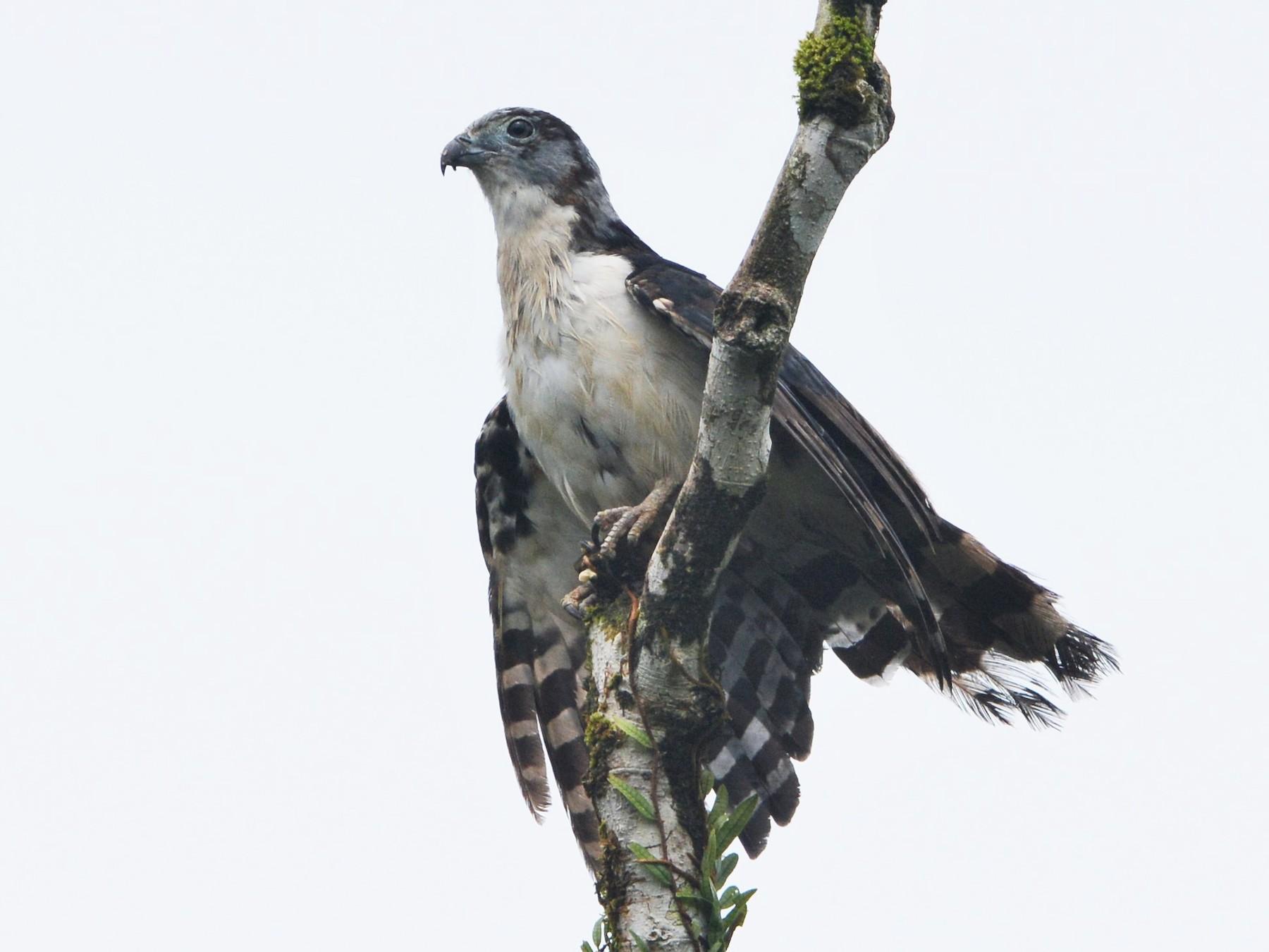 Gray-headed Kite - David Hollie