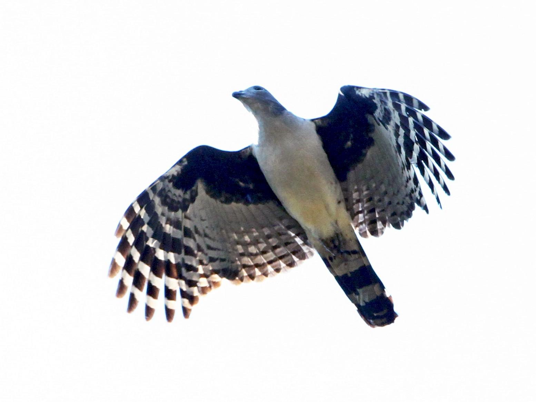 Gray-headed Kite - Ian Davies