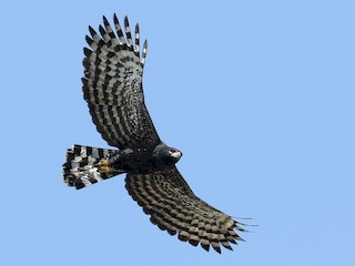 - Black Hawk-Eagle