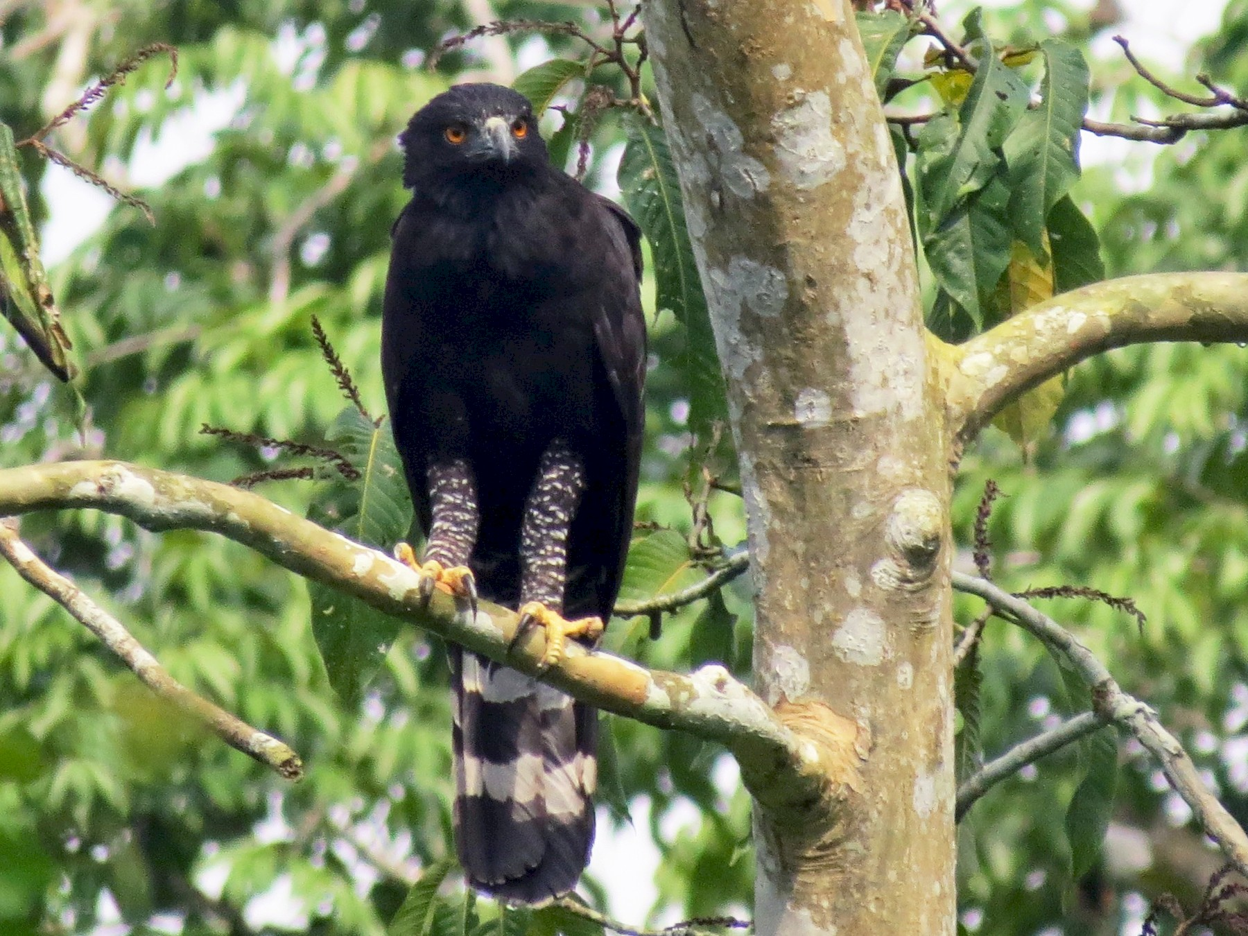 Black Hawk-Eagle - Mariló C. Castro