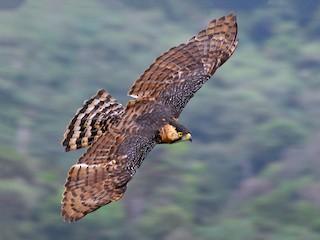 - Ornate Hawk-Eagle