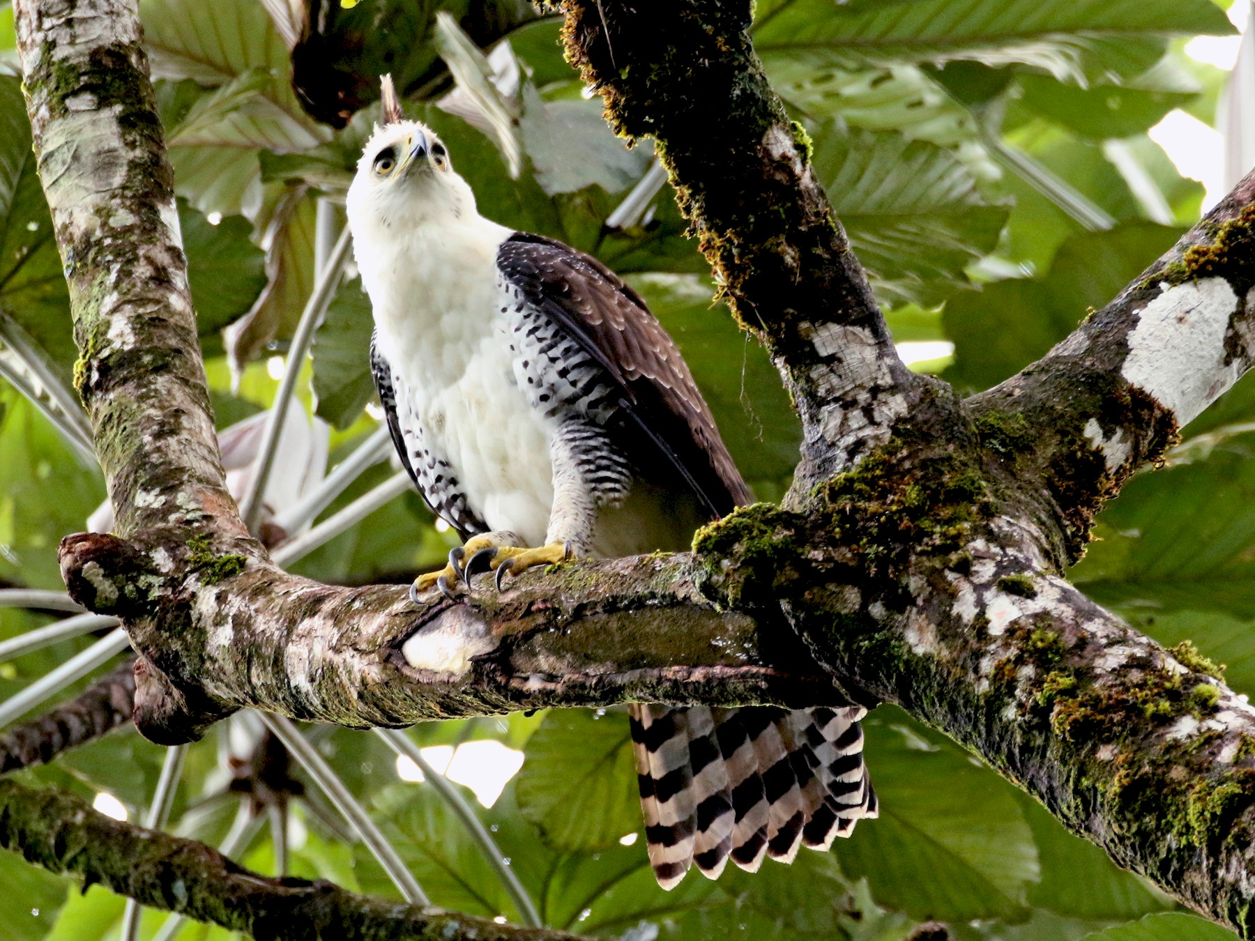 Ornate Hawk-Eagle - Kathleen Keef