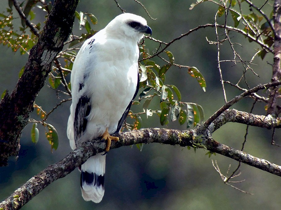 White Hawk - Josue  de León Lux (Birding Guide) josuedeleonlux@gmail.com +502 3068 8988