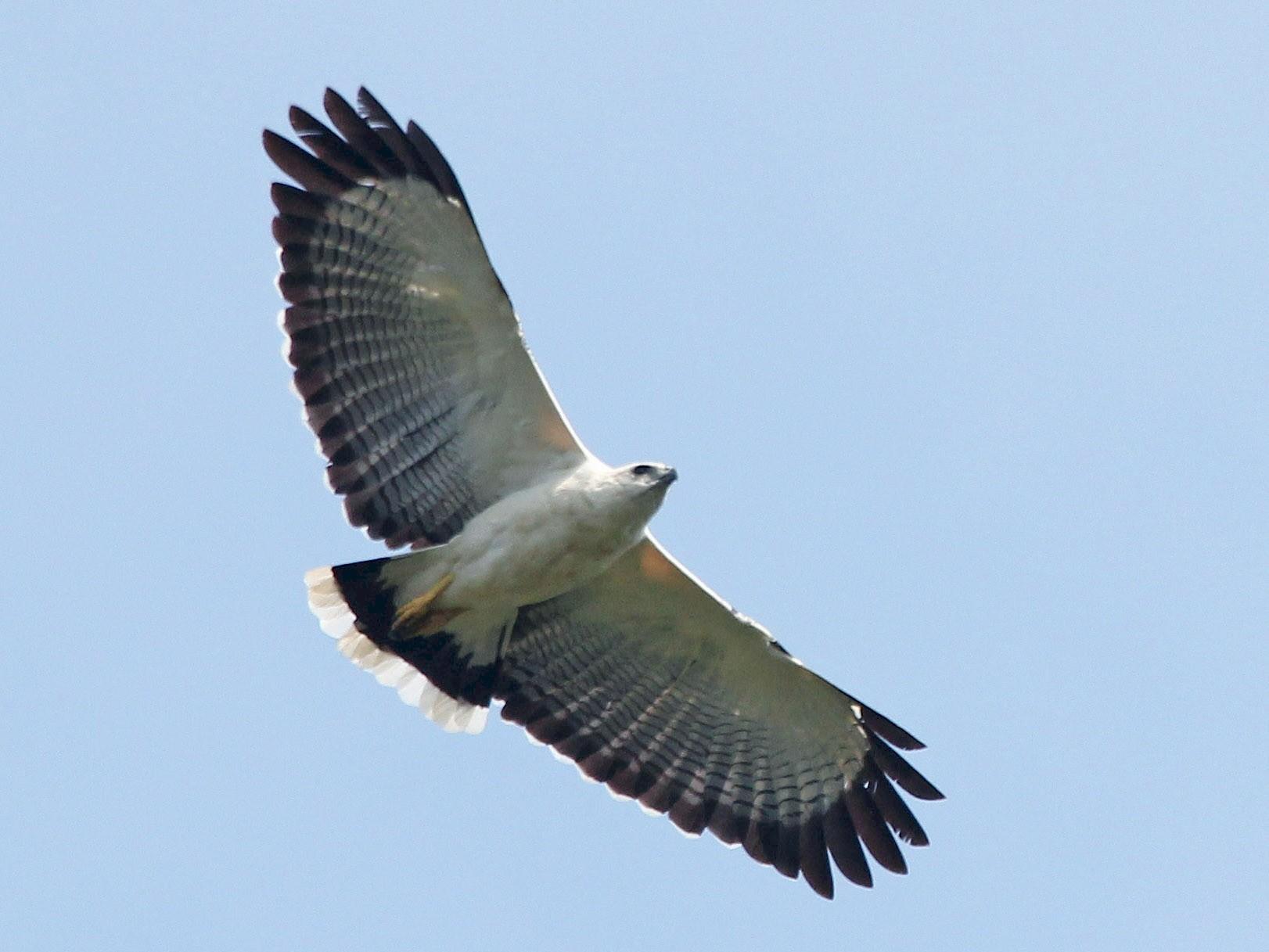 White Hawk - Alexander Lees