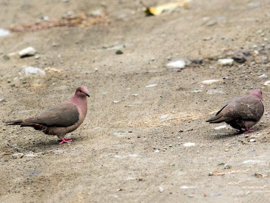 Short-billed Pigeon - Louise Auclair