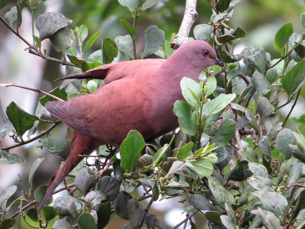 Short-billed Pigeon - Cory