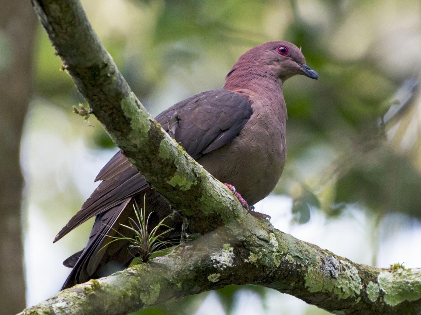 Short-billed Pigeon - John Cahill xikanel.com