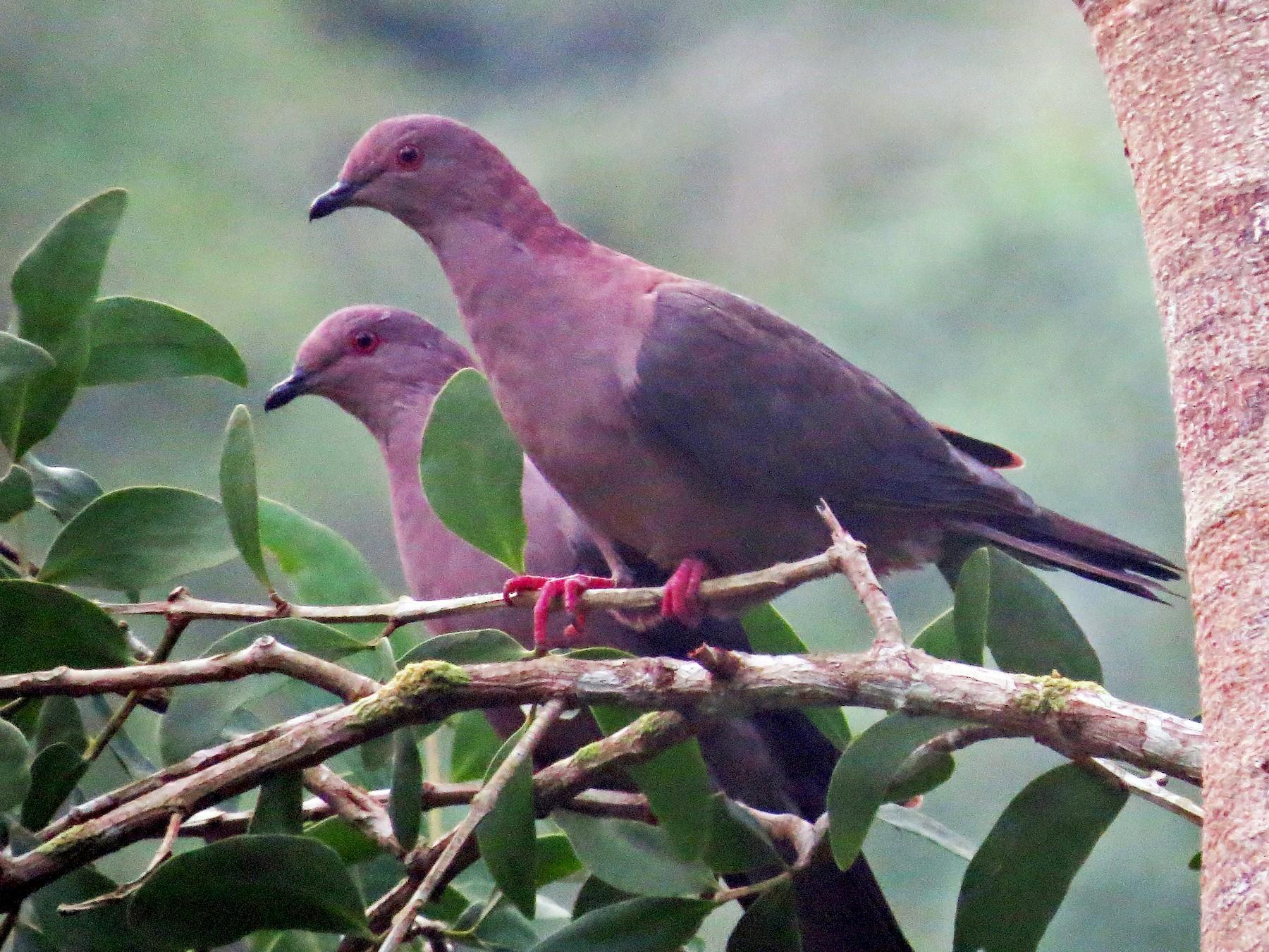 Short-billed Pigeon - Oliver  Komar