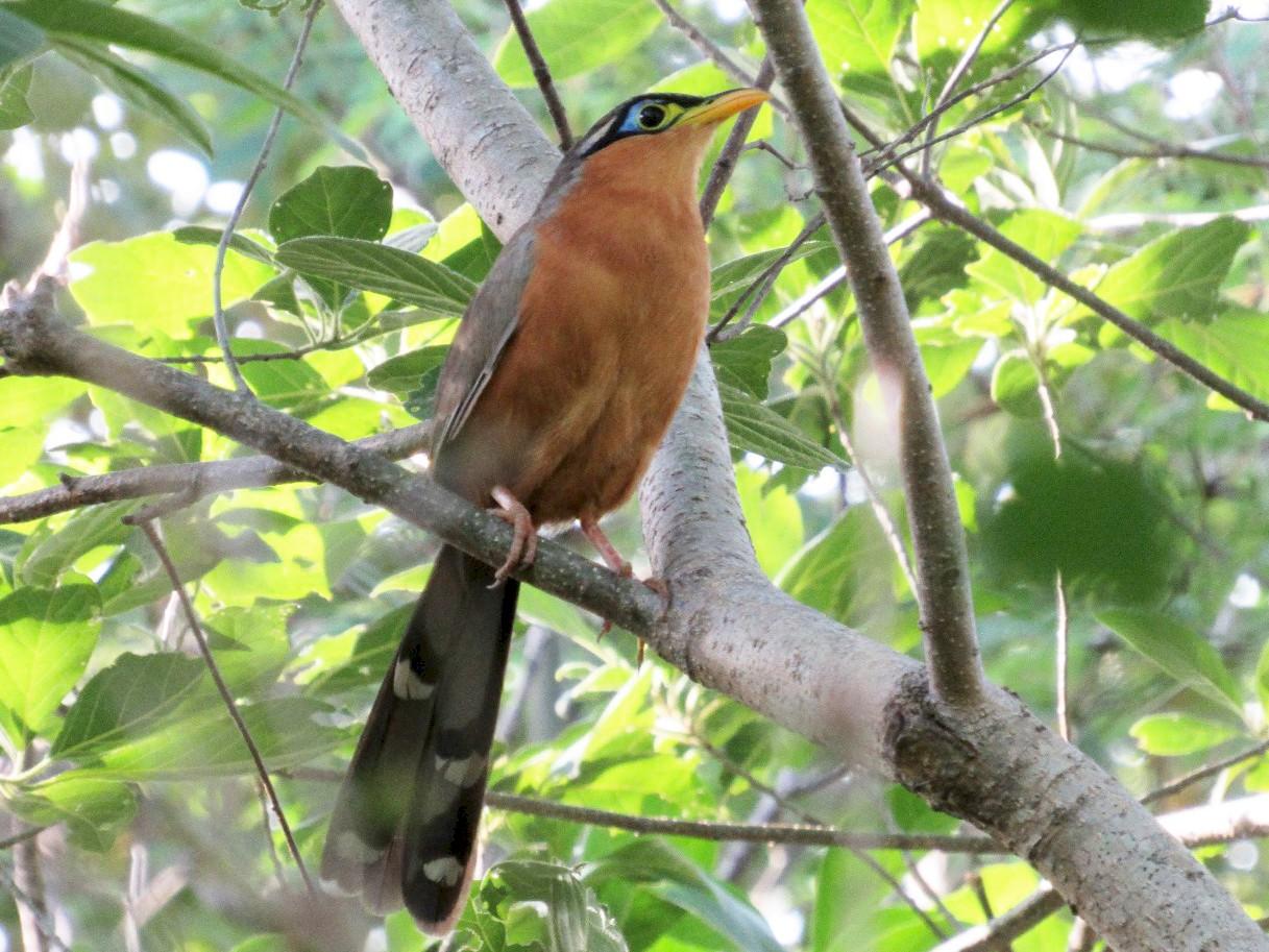 Lesser Ground-Cuckoo - Jim Zook