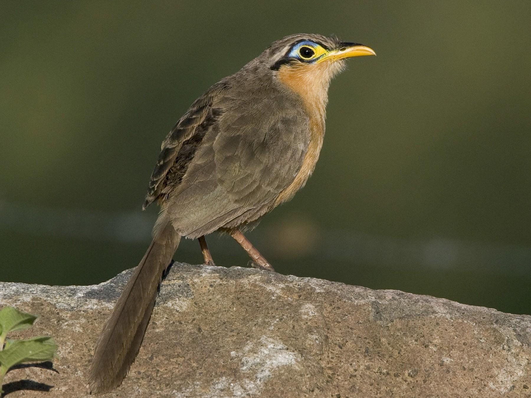 Lesser Ground-Cuckoo - Brian Sullivan