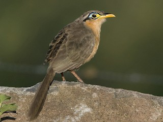 - Lesser Ground-Cuckoo