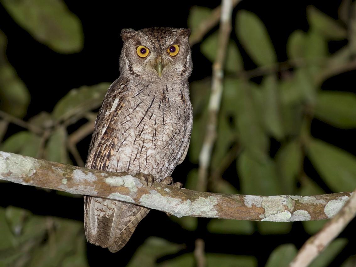Pacific Screech-Owl - Tom Johnson