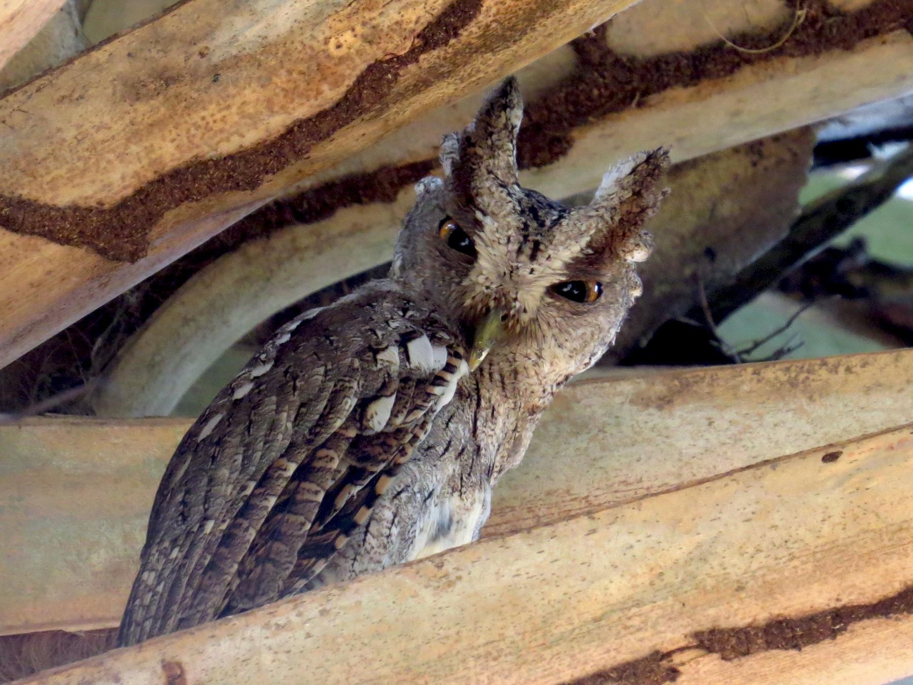 Pacific Screech-Owl - Diane Thériault