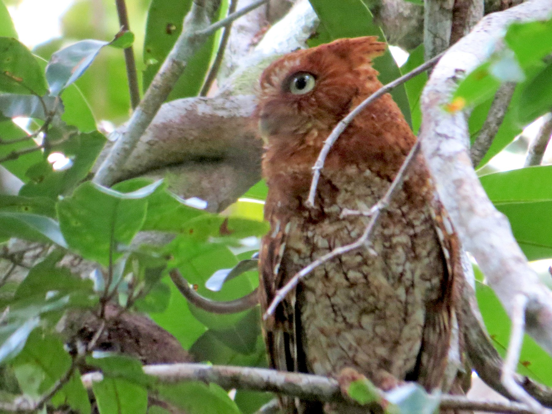 Middle American Screech-Owl - Liam Waters