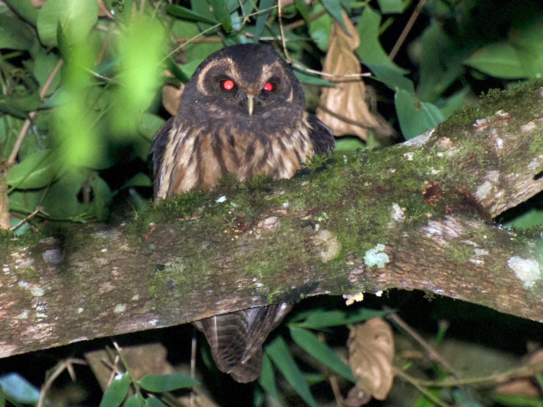Mottled Owl - Andreas Kostic