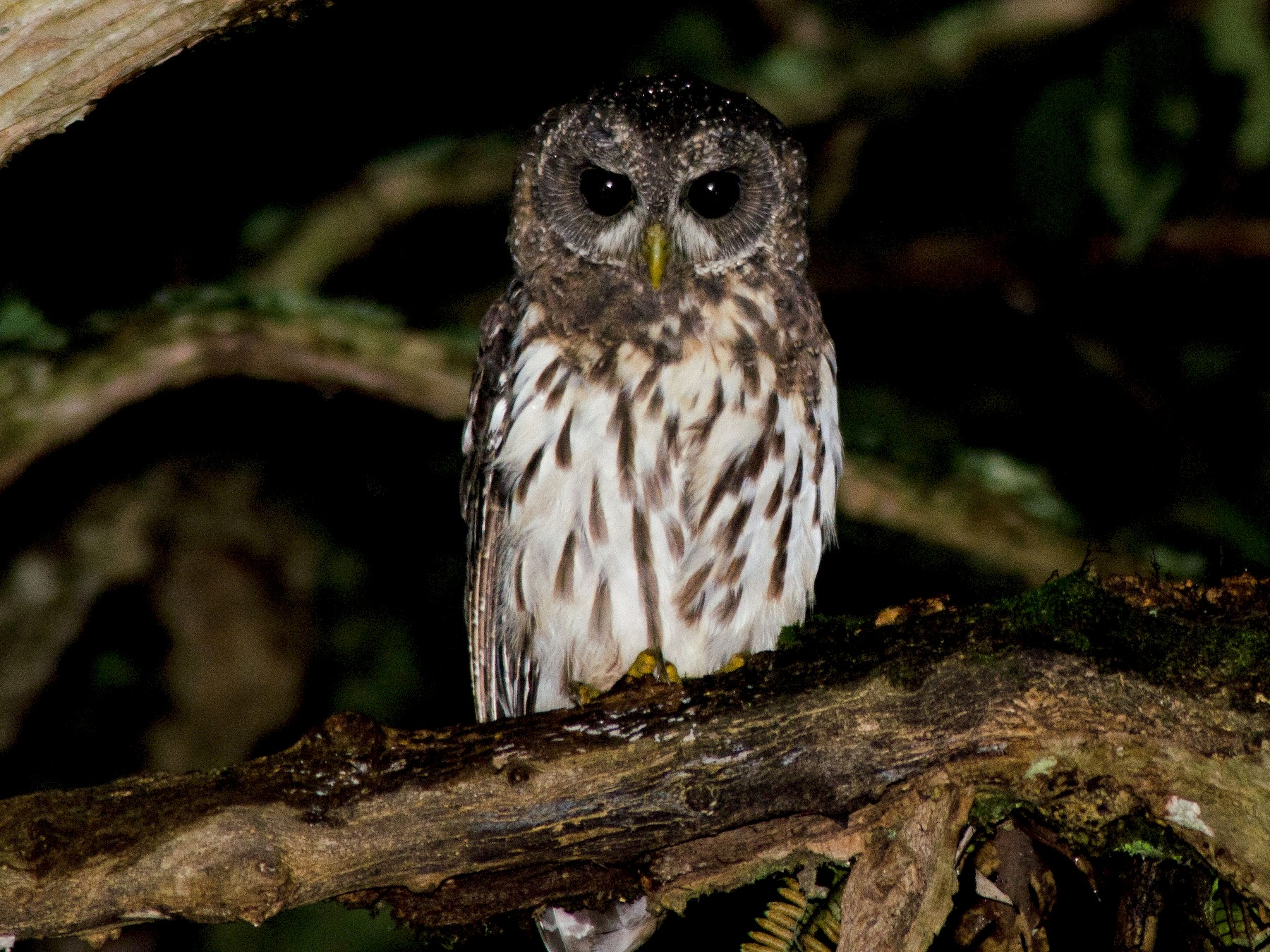 Mottled Owl - Antonio Martinez Hirtz