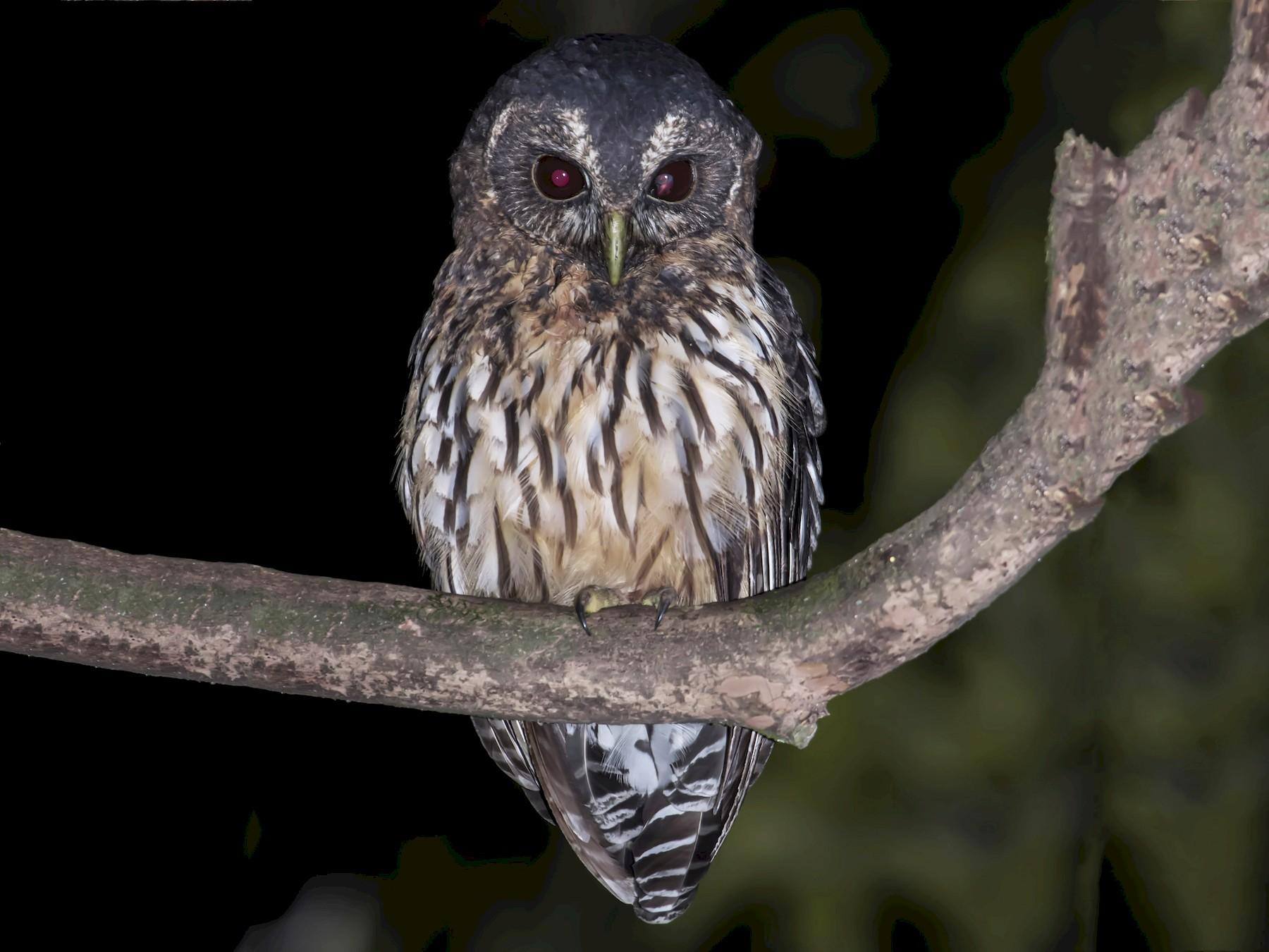 Mottled Owl - Guillermo  Saborío Vega