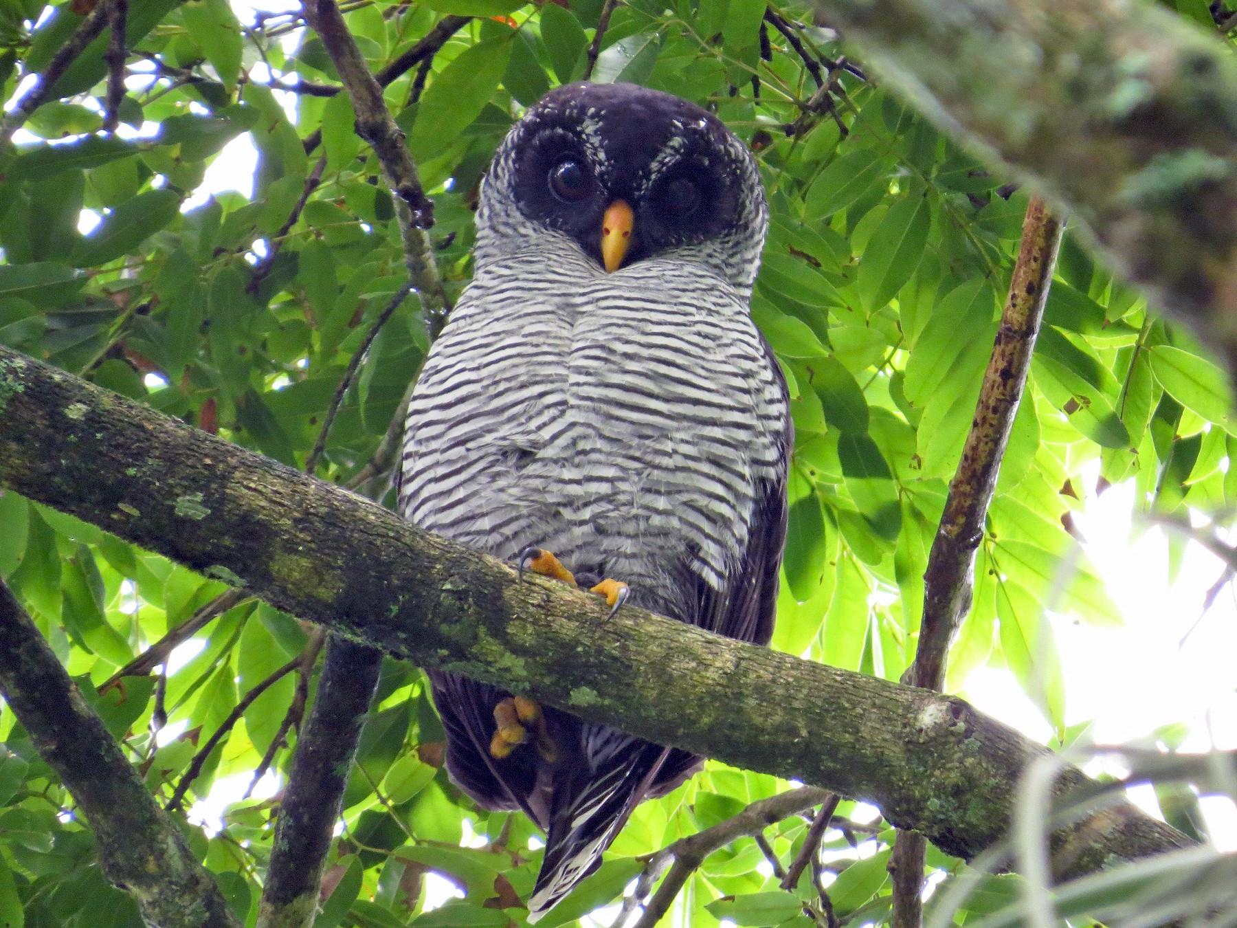 Black-and-white Owl - Róger Rodríguez Bravo