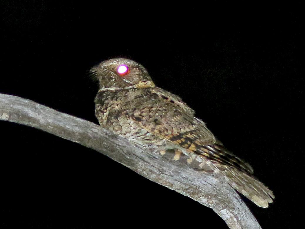 Buff-collared Nightjar - Michael O'Brien
